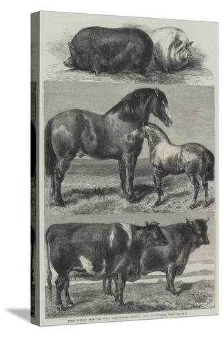 Prize Animals from the Royal Agricultural Society's Show in Battersea Park-Harrison William Weir-Stretched Canvas Print