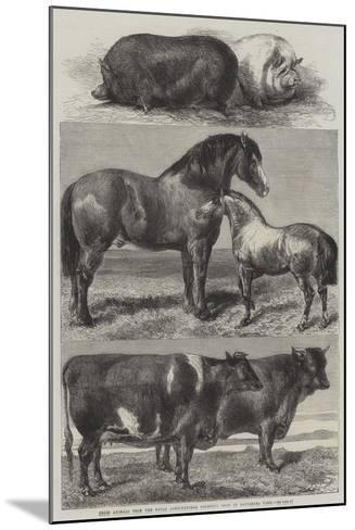 Prize Animals from the Royal Agricultural Society's Show in Battersea Park-Harrison William Weir-Mounted Giclee Print