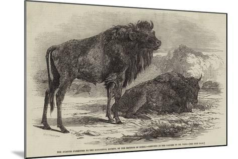 The Aurochs Presented to the Zoological Society, by the Emperor of Russia-Harrison William Weir-Mounted Giclee Print