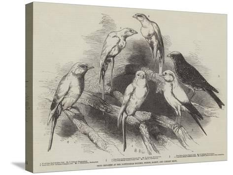 Prize Canaries at the Nottingham Poultry, Pigeon, Rabbit, and Canary Show-Harrison William Weir-Stretched Canvas Print