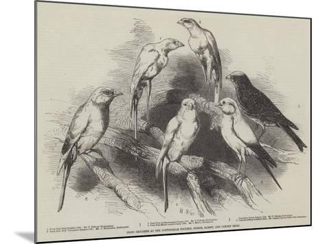 Prize Canaries at the Nottingham Poultry, Pigeon, Rabbit, and Canary Show-Harrison William Weir-Mounted Giclee Print