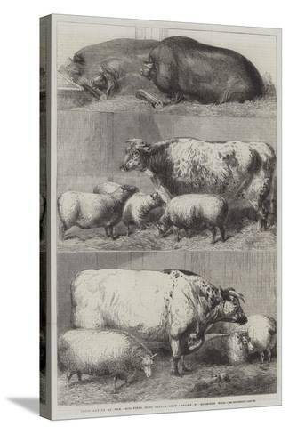 Prize Cattle at the Smithfield Club Cattle Show-Harrison William Weir-Stretched Canvas Print