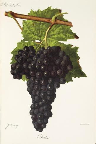 Chatus Grape-J. Troncy-Stretched Canvas Print