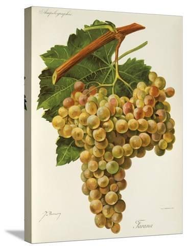 Farana Grape-J. Troncy-Stretched Canvas Print