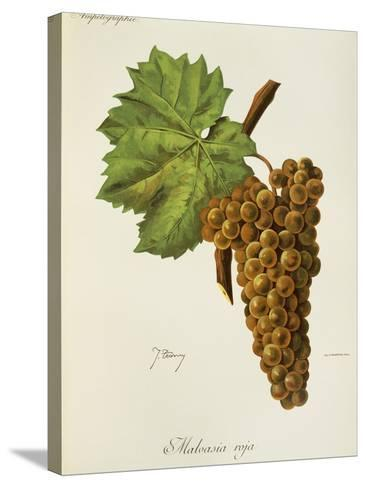 Malvasia Roja Grape-J. Troncy-Stretched Canvas Print
