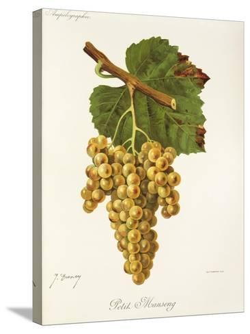Petit Manseng Grape-J. Troncy-Stretched Canvas Print