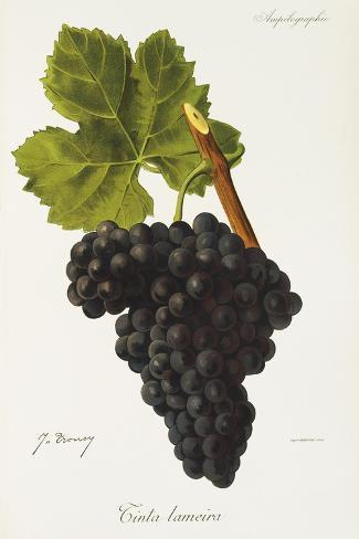 Tinta Lameira Grape-J. Troncy-Stretched Canvas Print