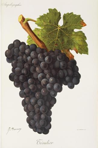 Teoulier Grape-J. Troncy-Stretched Canvas Print