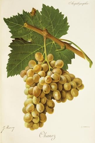 Ohanez Grape-J. Troncy-Stretched Canvas Print