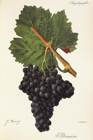 Albourion Grape-J. Troncy-Stretched Canvas Print