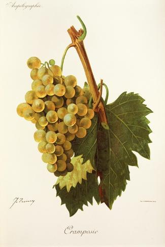 Cramposie Grape-J. Troncy-Stretched Canvas Print