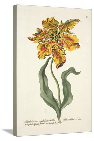 Tulipa Lutea from 'Phythanthoza Iconographica', Published in Germany, 1737-45-Johann Wilhelm Weinman-Stretched Canvas Print