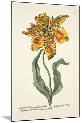 Tulipa Lutea from 'Phythanthoza Iconographica', Published in Germany, 1737-45-Johann Wilhelm Weinman-Mounted Giclee Print