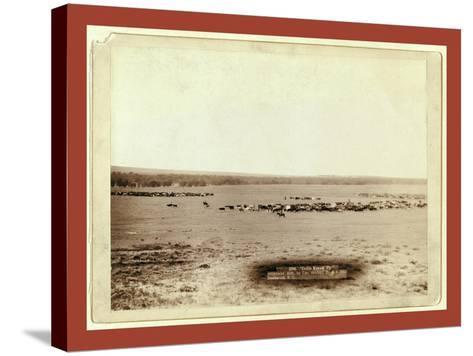 Cattle Round Up-John C. H. Grabill-Stretched Canvas Print