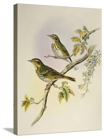 Indian Tree-Pipit (Pipastes Agilis)-John Gould-Stretched Canvas Print