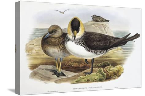 Pomarine Jaeger (Stercorarius Pomarinus)-John Gould-Stretched Canvas Print