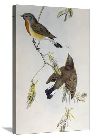 Red-Breasted Flycatcher (Ficedula Parva)-John Gould-Stretched Canvas Print