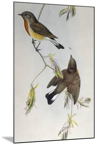 Red-Breasted Flycatcher (Ficedula Parva)-John Gould-Mounted Giclee Print