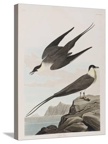 Illustration from 'Birds of America', 1827-38 (Hand-Coloured and Aquatint)-John James Audubon-Stretched Canvas Print
