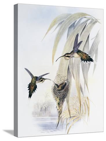 Scale-Throated Hermit (Phaethornis Eurynome)-John Gould-Stretched Canvas Print