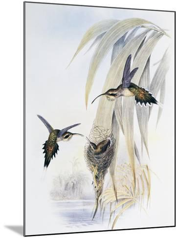 Scale-Throated Hermit (Phaethornis Eurynome)-John Gould-Mounted Giclee Print