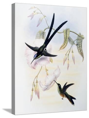 Scissor-Tailed Hummingbird (Hylonympha Macrocerca)-John Gould-Stretched Canvas Print