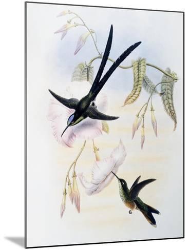 Scissor-Tailed Hummingbird (Hylonympha Macrocerca)-John Gould-Mounted Giclee Print