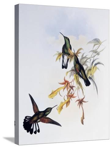 Stripe-Tailed Hummingbird (Eupherusa Eximia)-John Gould-Stretched Canvas Print