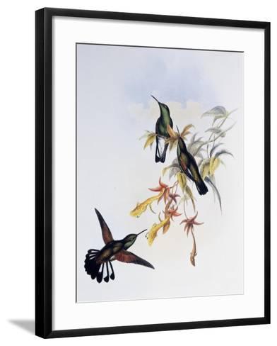 Stripe-Tailed Hummingbird (Eupherusa Eximia)-John Gould-Framed Art Print