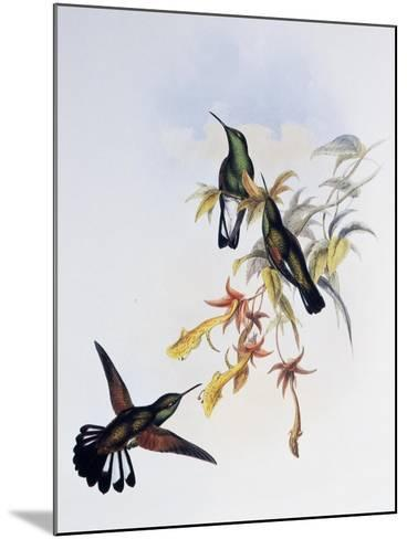 Stripe-Tailed Hummingbird (Eupherusa Eximia)-John Gould-Mounted Giclee Print