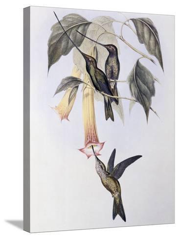 Sword-Billed Humming Bird (Docimastes Ensiferus)-John Gould-Stretched Canvas Print