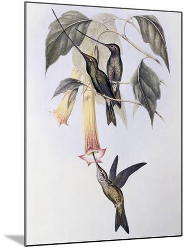 Sword-Billed Humming Bird (Docimastes Ensiferus)-John Gould-Mounted Giclee Print
