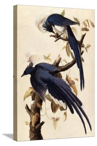 Magpie Jay, 1829-John James Audubon-Stretched Canvas Print