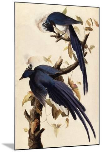 Magpie Jay, 1829-John James Audubon-Mounted Giclee Print