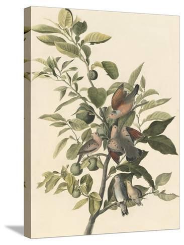 Common Ground Dove-John James Audubon-Stretched Canvas Print