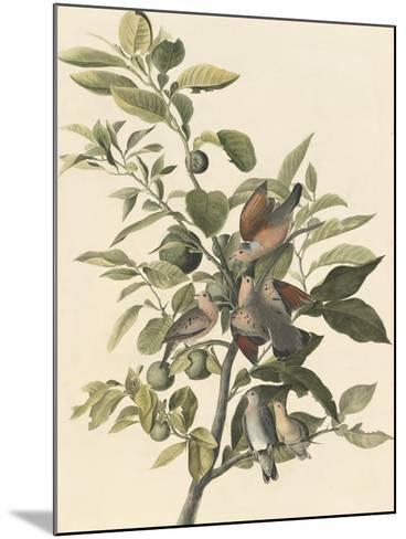 Common Ground Dove-John James Audubon-Mounted Giclee Print
