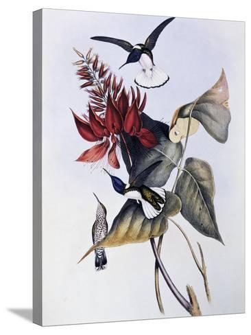 White-Necked Jacobin (Florisuga Mellivora)-John Gould-Stretched Canvas Print