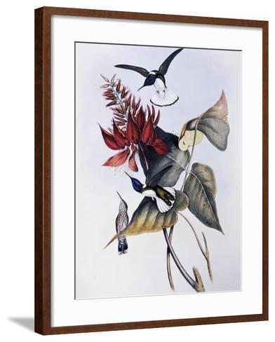 White-Necked Jacobin (Florisuga Mellivora)-John Gould-Framed Art Print