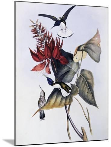 White-Necked Jacobin (Florisuga Mellivora)-John Gould-Mounted Giclee Print