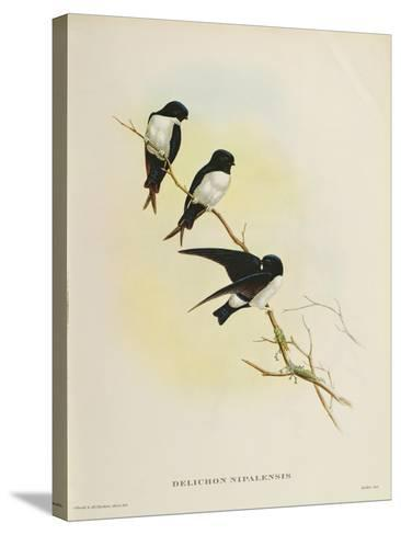 Delichon Nipalensis, from 'A Century of Birds from the Himalaya Mountains', 1830-32-John Gould-Stretched Canvas Print