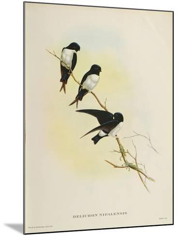 Delichon Nipalensis, from 'A Century of Birds from the Himalaya Mountains', 1830-32-John Gould-Mounted Giclee Print