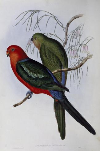 Australian King Parrot (Alisterus Scapularis) (1804-1881) and Henry Constantine Richter (1821-1902)-John Gould-Stretched Canvas Print