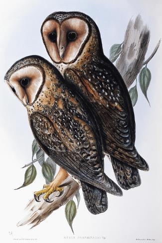 Australian Masked-Owl (Strix Personata)-John Gould-Stretched Canvas Print