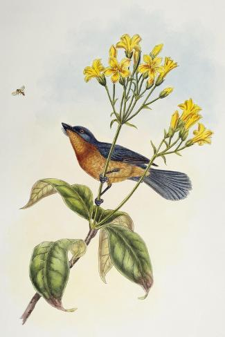 Broad-Billed Flycatcher (Myiagra Ruficollis)-John Gould-Stretched Canvas Print