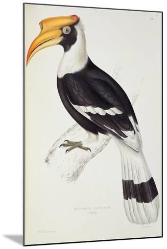Buceros Cavatus-John Gould-Mounted Giclee Print