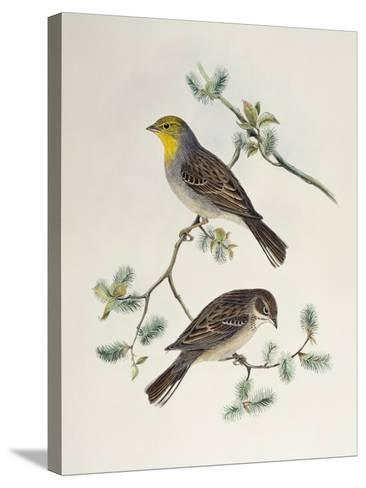 Emberiza Cinerea-John Gould-Stretched Canvas Print