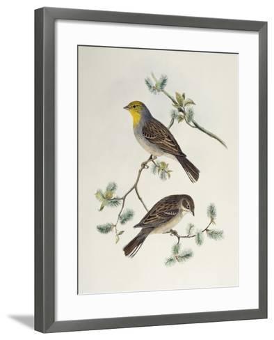 Emberiza Cinerea-John Gould-Framed Art Print