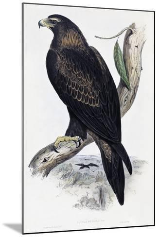 Golden Eagle (Aquila Chrysaetos)-John Gould-Mounted Giclee Print