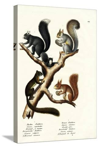 Different Kinds of Squirrels, 1824-Karl Joseph Brodtmann-Stretched Canvas Print