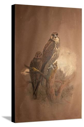 Saker Falcon (Falco Sacer), 1856-67-Joseph Wolf-Stretched Canvas Print